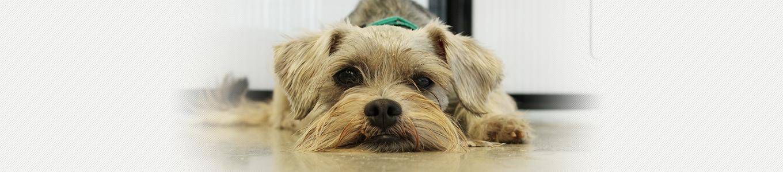 犬ジステンバーウイルス(犬ジスデンバーウイルス感染症)