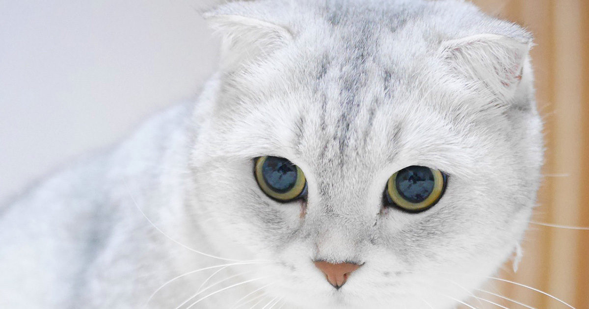 スコティッシュフォールドってどんな猫