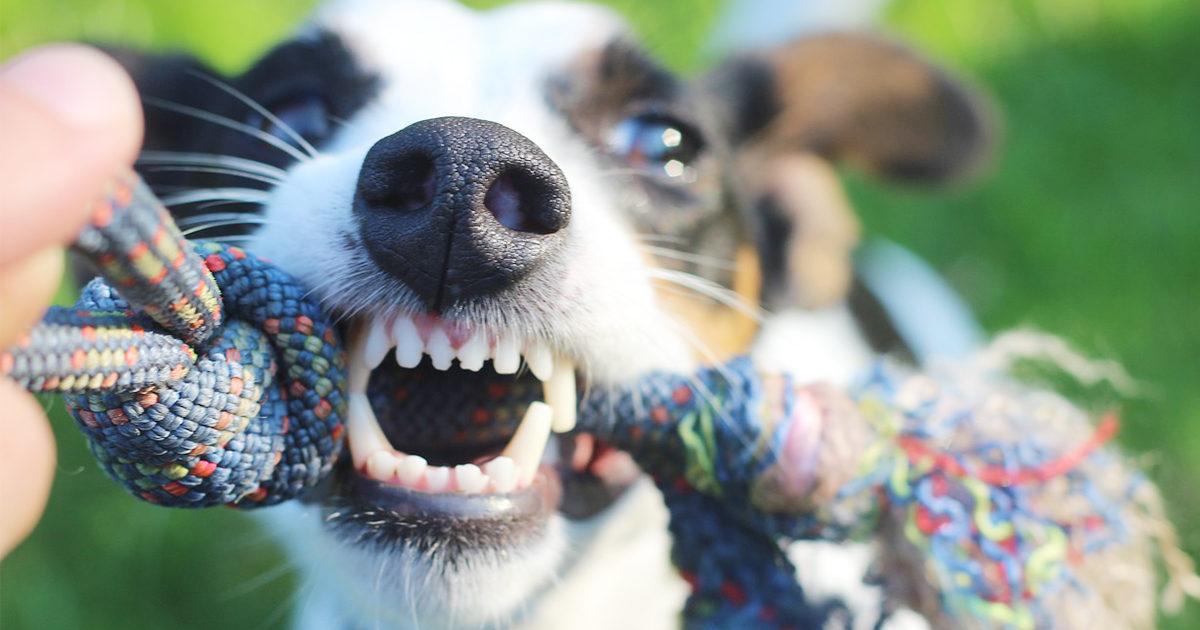 犬の歯磨きってどうすれば良いの